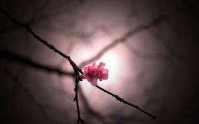 цветочек, розовый, широкоформатные, цветы, полноэкранные, ветка, размытие, широкоэкранные, обои