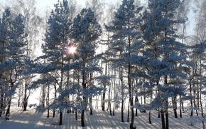 sole, alberi, tramonto, foresta, inverno, abete rosso, nevicata, Raggi