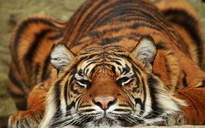 хищник, тигр, Суматра, лежит