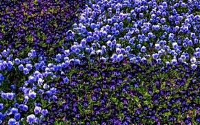 jardim violeta, amor-perfeito, viola