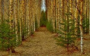 лес, аллея, берёзы