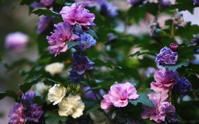 цветы, куст, лето