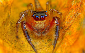 прыгун, лист, осенний, паук, желтый, джампер