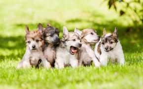 щенки, трава, собаки, малыши, лужайка