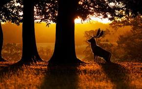 рассвет, природа, олень, лес
