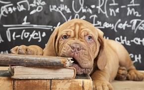 tablero, Libros, Dogo de Burdeos, perro, fórmula, cachorro, ver, Hocico
