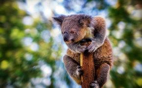 взгляд, коала, размытие