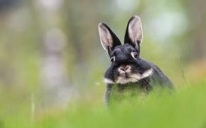 hare, ears, muzzle