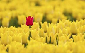 giallo, TULIPANI, rosso
