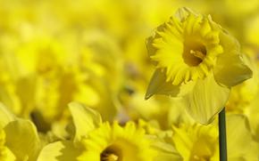 sfondo, giallo, Narcisi