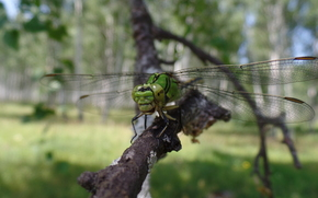 dragonfly, forest, Macro