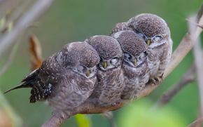 ветка, совы, семейство, мама, пятнистые совы, птицы, детки