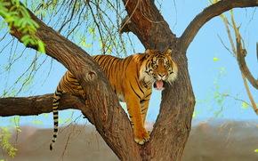 суматранский, тигр, хищник, морда, дерево