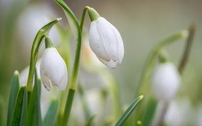 весна, подснежники, белые, размытость, цветы