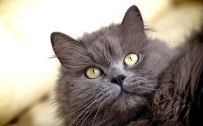 кошка, желтые, серая, пушистая, кот, взгляд, глаза