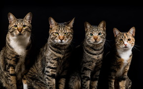 STRIPED, black background, four, gray, cats, cat