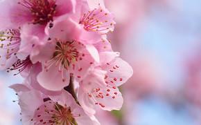 cherry, цветы, макро