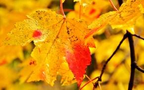 листья, ветка, осень, макро