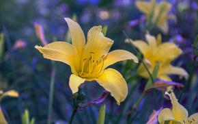 лилии, цветы, макро