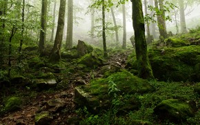 forest, trees, stones, fog, nature