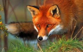 fox, Redhead, animale