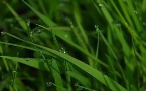 трава, капли, роса, макро