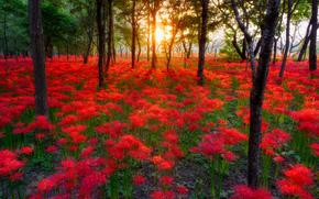 zachód słońca, las, drzew, Kwiaty, charakter