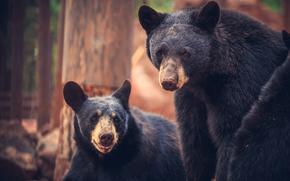 Bearizona Wild Animal Park, Williams, Arizona, Bears