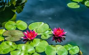 вода, цветы, лилии