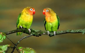 Parrots, Lovebird, on a branch