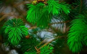 BRANCH, needles, pine, Macro