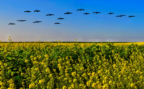 поле, цветы, стая птиц, пейзаж