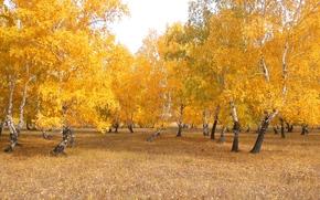 natura, paesaggio, foresta, betulla, oro, giallo, Chimbay, Kazakhstan, autunno, Ottobre, ballare foresta, Giorno, fogliame