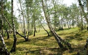 bosque bailando, abedul, verano, naturaleza, bosque, pezón, Verde, Junio, Kazajstán, Karaganda