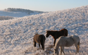 horse, animals, horse, pasture, zhailau, steppe, Kazakhstan, Mongolia, frost, winter, herd, digging
