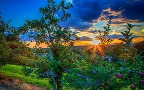 sunset, garden, apple, landscape