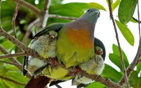 Treron vernans, Pink Necked Green Pigeons, rozovosheyny green pigeon