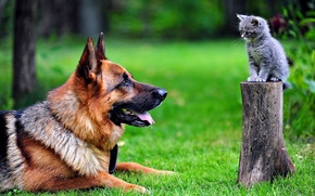 German, shepherd, and cat