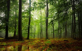 forest, trees, fog, puddles, nature