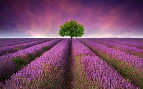 поле, дерево, лаванда, пейзаж