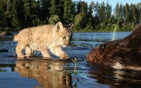 rysenok, beaver, river