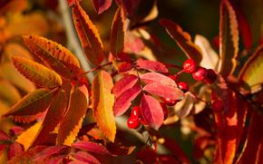 autumn, Rowan, Macro