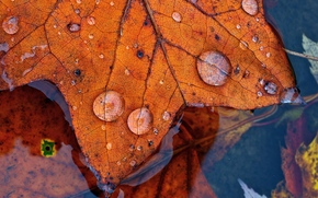 water, foliage, drops, autumn, Macro