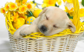 Canastas, cachorro, duerme
