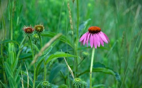 hierba, flor, Macro