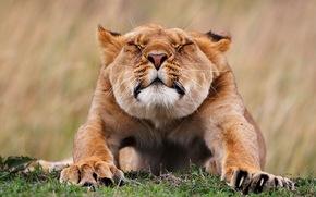 leonessa, koggti, erba