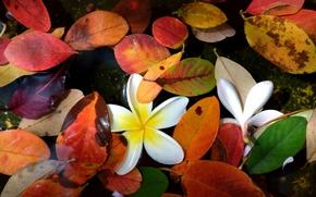 вода, листья, цветки, осень