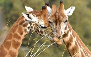 girafes, animaux, aimer
