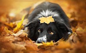 ładny, border collie, Border Collie, listowie, jesień