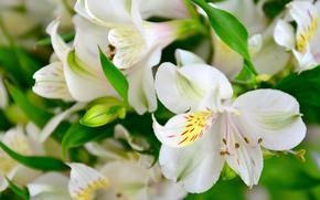 лилии, цветы, флора